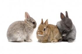 netherland-dwarf-rabbit-281x187.jpg