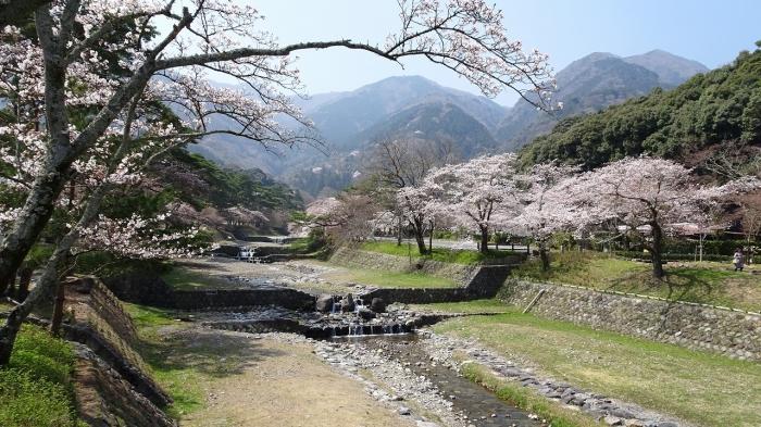 姫路城と桜 (16)
