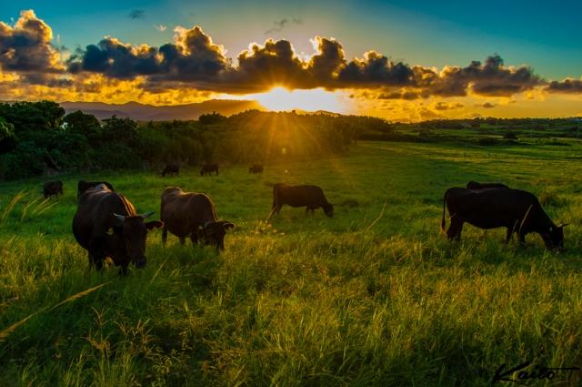 小浜島 のどかな夕暮れと牧草を食べる牛さん