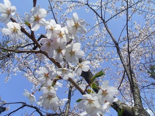 桜IMGP0007