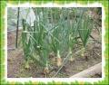 ホーム玉葱
