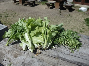 山東白菜収穫