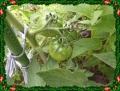 トマト 麗花