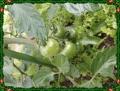 トマト中玉