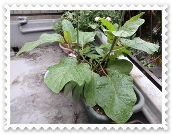 ベランダの水茄子