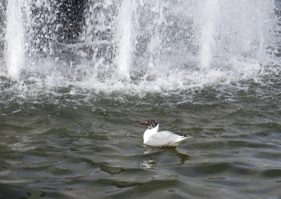 IMG_2295噴水ユリカモメ