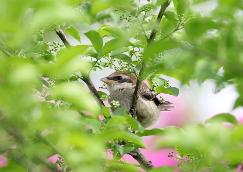 1M6A2840モズ幼鳥