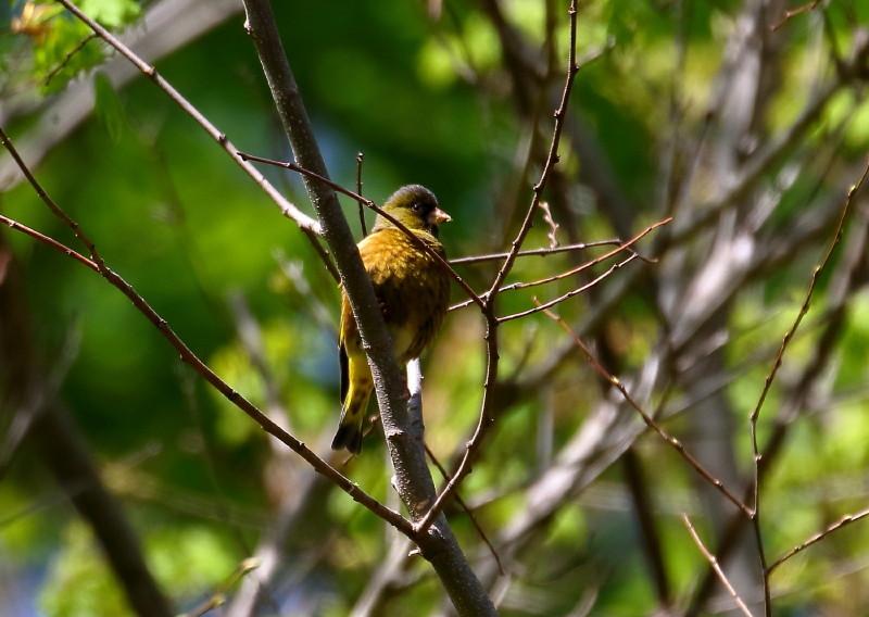 1M6A4518カワラヒワ留鳥