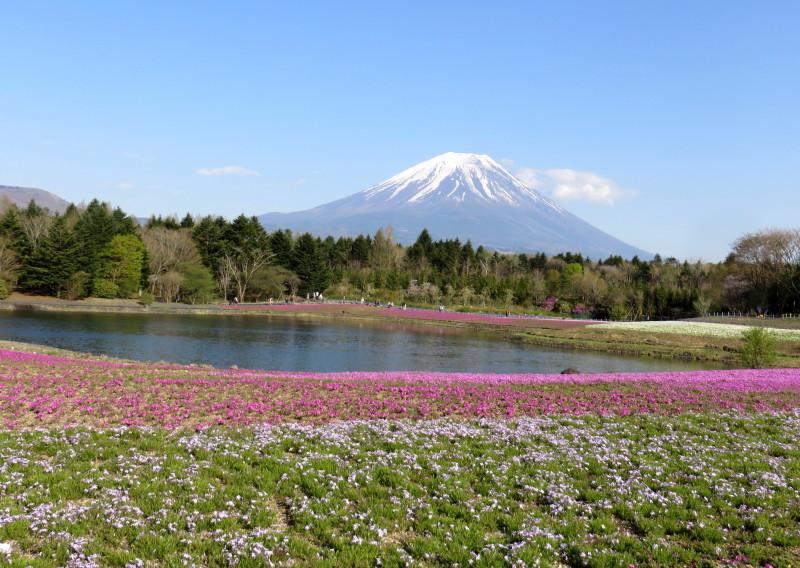 IMG_2332富士山芝桜