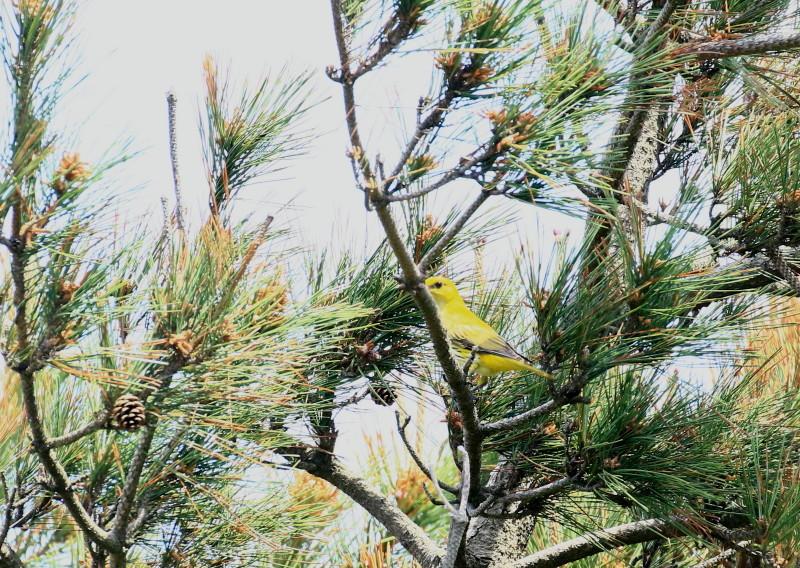 IMGL9832コウライウグイス成鳥A