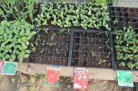 野菜の芽3