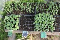 野菜の芽2