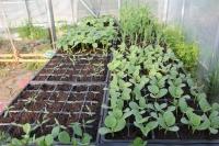 野菜の芽1