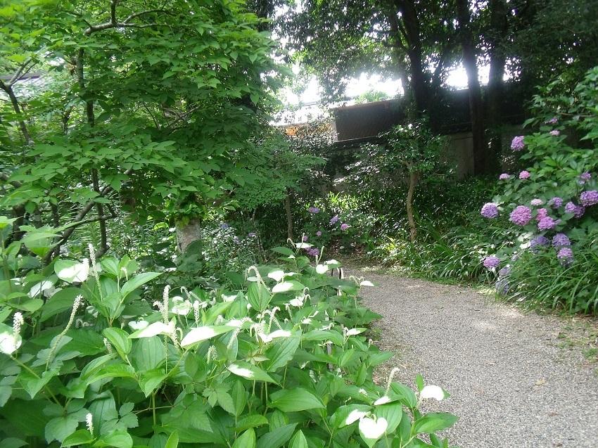 半夏生と紫陽花