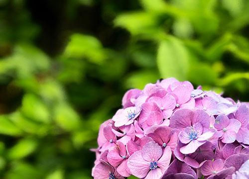 ajisai_pink.jpg