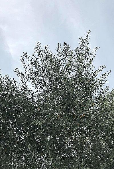 olive_l.jpg
