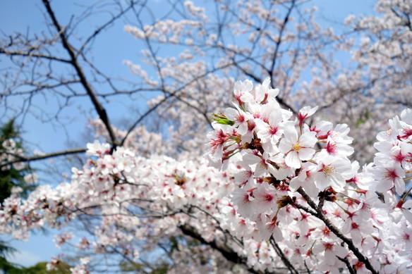 2018.4月・桜①