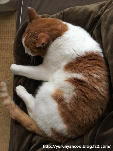 ブログNo.1203(猫も抱き枕を使う?)1