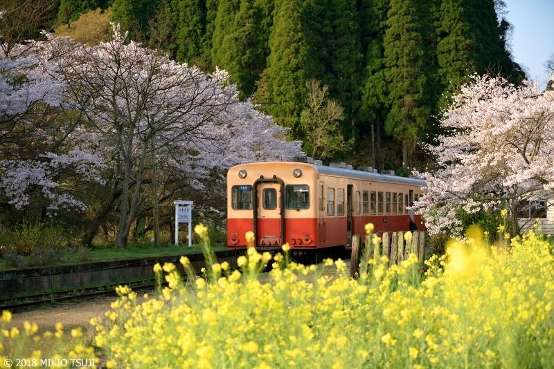 絶景探しの旅 - 0547 桜と菜の花に包まれた駅 (小湊鉄道 月崎駅/千葉県 市原市)