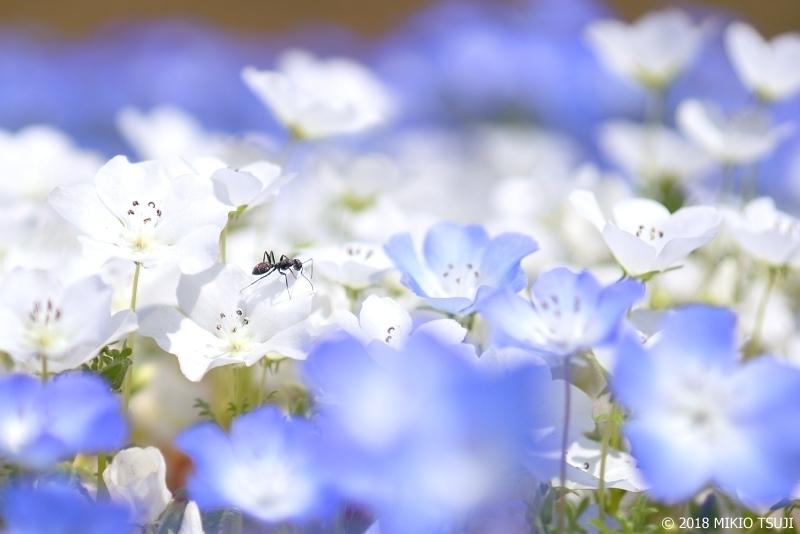 絶景探しの旅 - 0563 アリと白いネモフィラ (ひたち海浜公園 茨城県 ひたちなか市)