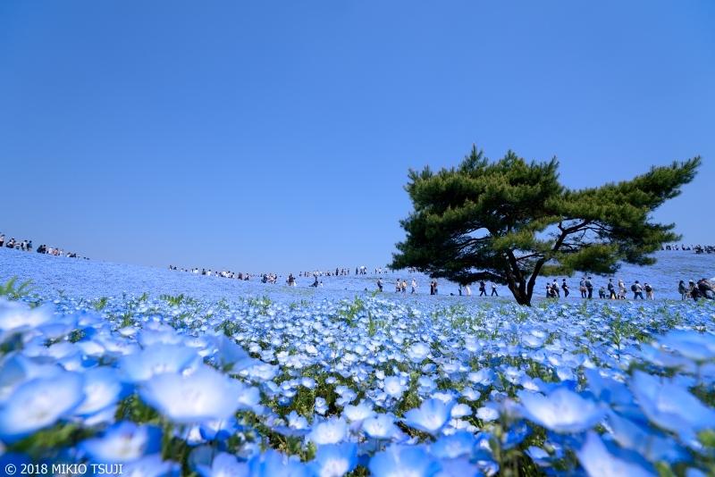 絶景探しの旅 - 0564 どこまでも広がる青い世界の花の妖精たち (ひたち海浜公園/茨城県 ひたちなか市)