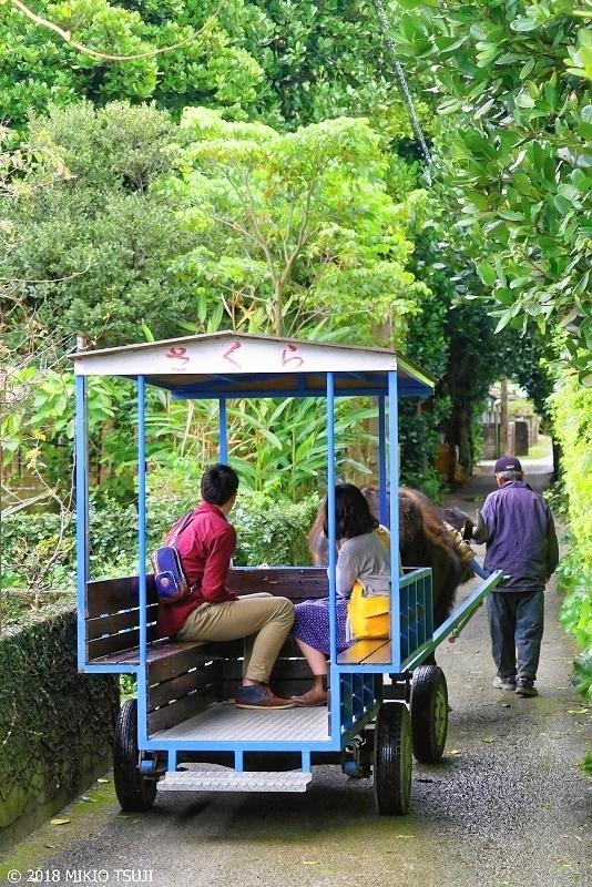 絶景探しの旅 - 0573 備瀬のフクギ並木のトンネルを行く水牛車 (沖縄県 本部町)