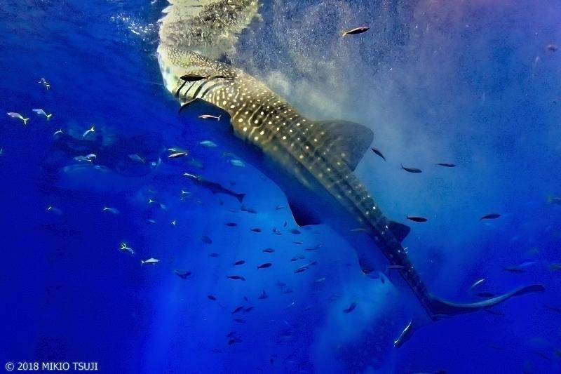 絶景探しの旅 - 0574 迫力!ジンベエザメの餌付け (沖縄美ら海水族館/沖縄県 本部町)