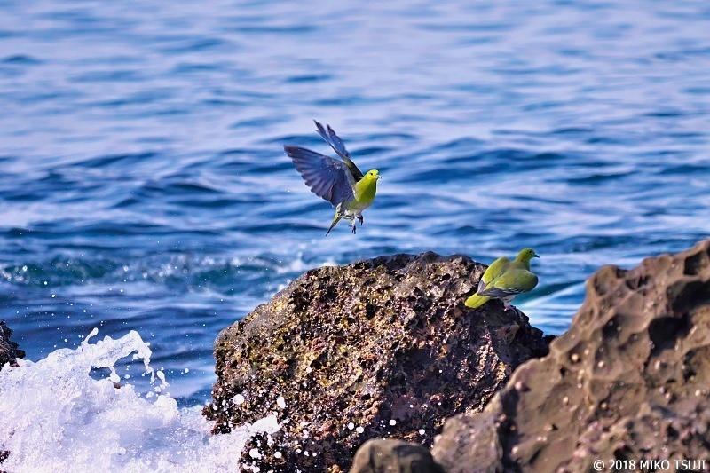 絶景探しの旅 - 0585 波に飛ぶアオバト (照ヶ崎海岸/神奈川県 大磯町)