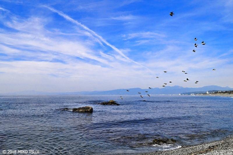 絶景探しの旅 - 0584 アオバトの飛翔する海岸 (照ヶ崎海岸 神奈川県 大磯町)