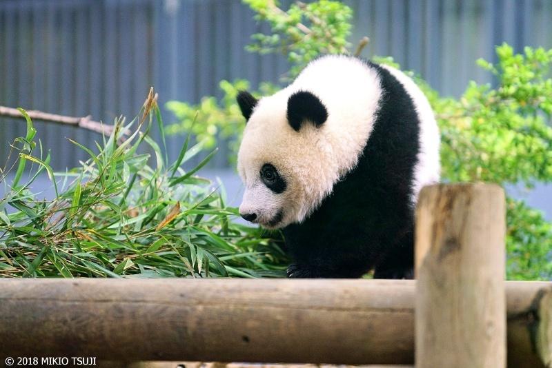 絶景探しの旅 - 0621 パンダのシャンシャン1歳になりました (上野動物園/東京都 台東区)
