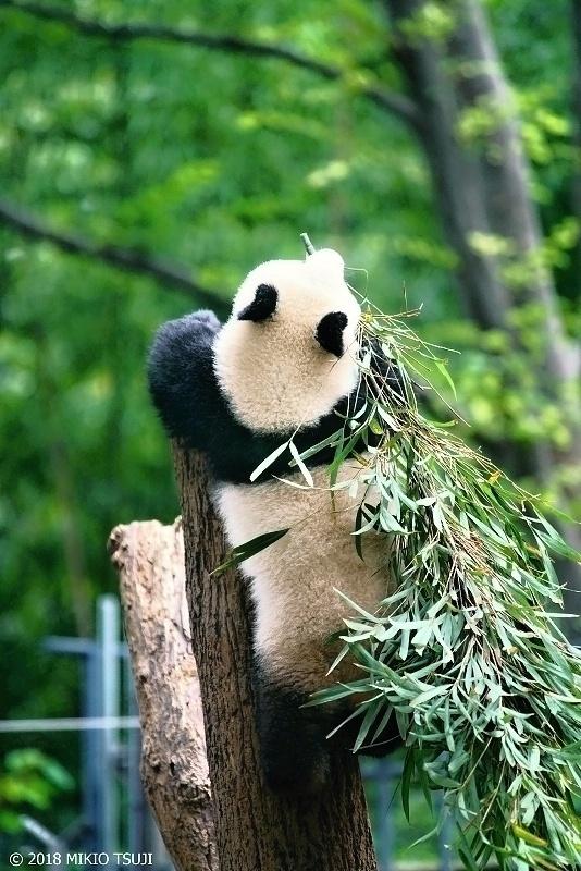 絶景探しの旅 - 0622 笹を口にくわえ木に登るパンダのシャンシャン (上野動物園/東京都 台東区)