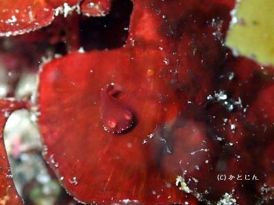 404 赤ダンゴ